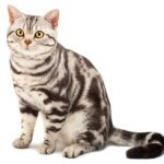 American Shorthair Cat, Purebreed cat, Purebred Cat