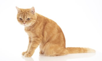 American Shorthair Ginger cat sitting, AMerican Shorthair cat, ginger cats