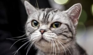American Shorthair cat face, cat's whiskers, cats
