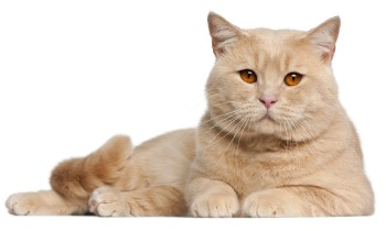 British Shorthair cat, Pale colored British Shorthair, cat