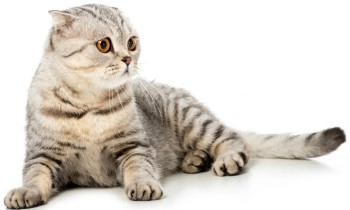 British Shorthair Cat, Striped British Shorthair Cat, Cat