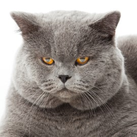 British Shorthair face, cat face, furry cat