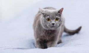 British Shorthair Cat, Prowling Cat, Cat