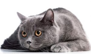 British Shorthair Cat, British Blue Cat, scared cat