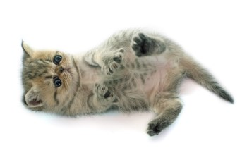 Exotic Shorthair kitten, Exotic Shorthair cat, kitten playing