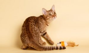 Ocicat, playful cat, shorthair cat