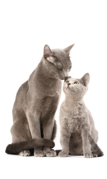 Russian Blue cat and kitten, Russian Blue kitten, kittens