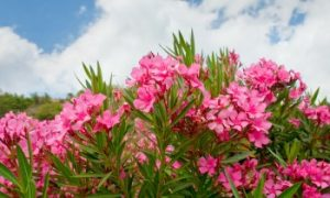 Oleander poisonous plant, poisonous plants for cats, what cats can't eat