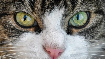 cats eyes, Cat vision, Are Cats color blind?