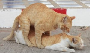 Cats mating, cat heat cycle, shorthair cats mating