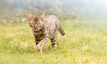 roaming Bengal cat, how far do cats roam, inquisitive cat