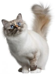 Birman, Birman cat, pet cat