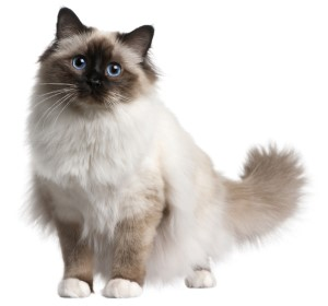 Birman cat, Birmans, pure breed cats
