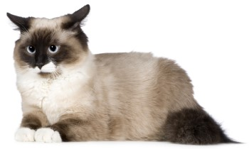 Birman Cat, Birmans, pet cat