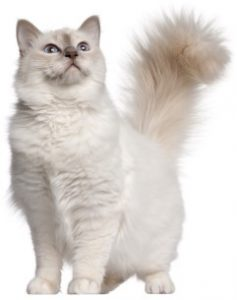 Birman cat standing, Birman Cat, Pet Cat