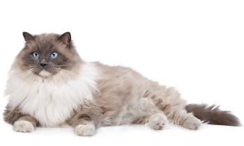 Ragdoll, Ragdoll cat, Ragdoll cat breed