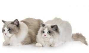 Ragdoll cats, Ragdoll Cat breed, pet cat