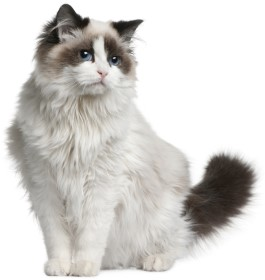 Ragdoll, Ragdoll Cat, Pet cat
