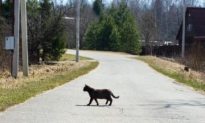 Shorthair Cat crossing a road, Roaming cat, cat roaming