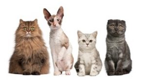 pedigree kittens, buy a kitten, reputable cat breeder