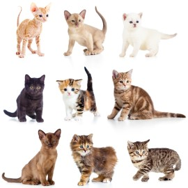 Reputable cat breeders, purebred kittens, kittens