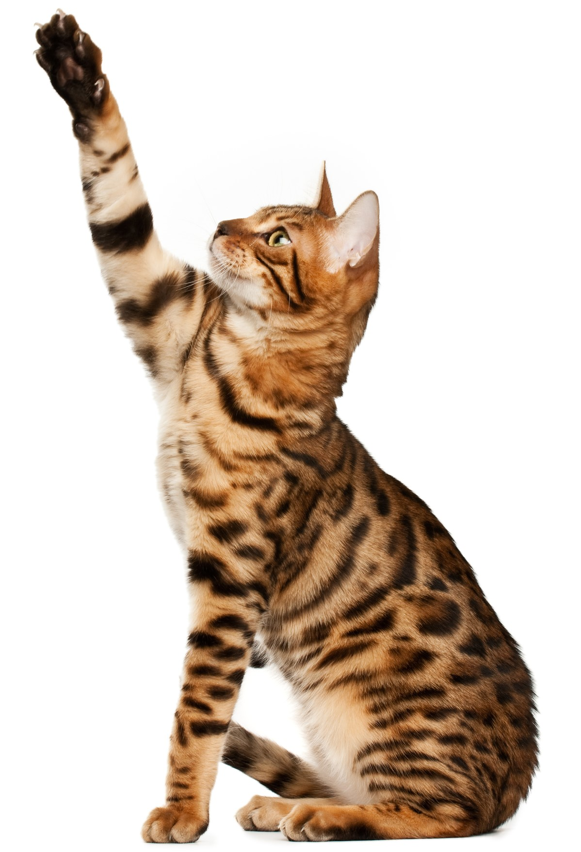 Bengal Cat, Bengal kitten, Short haired cat breed