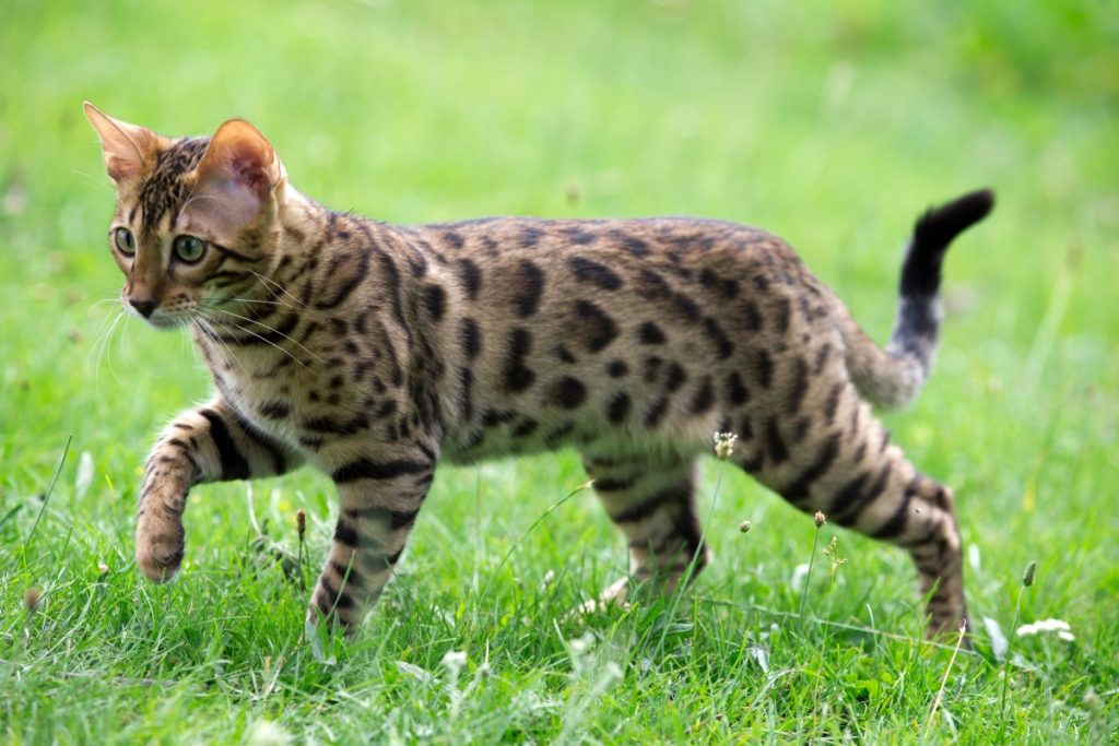 Bengal Cat, Bengal Cat breed, Bengal cat origins